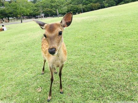 海南坡鹿绝境重生 种群呈恢复性增长态势