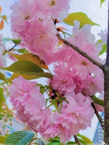 京郊花海已迎来观赏季 426个园林绿化新优品种亮相