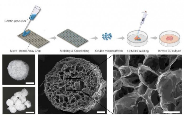 """科学家开发出海绵状""""冷冻干凝胶"""" 将干细胞必要剂量减少90%"""